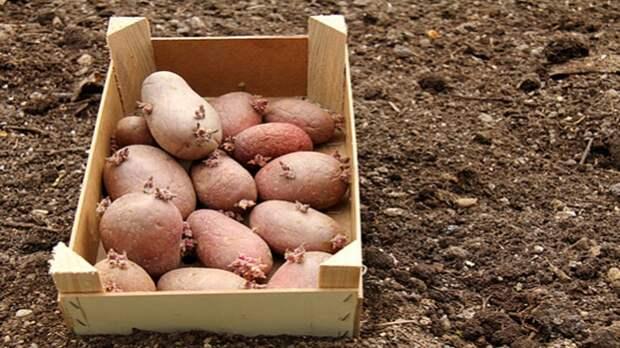Антикризисный вариант: картошка против кризиса