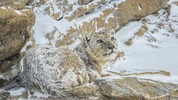 Словно хамелеон: неотличимый от камней снежный барс покорил Сеть