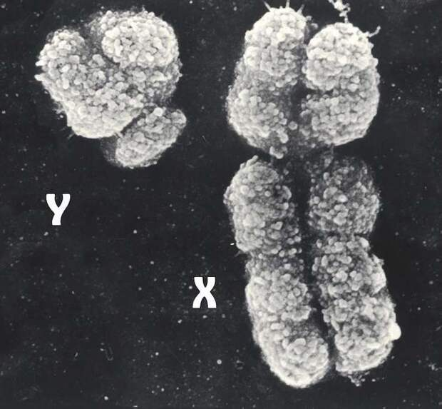 Отличаются ли ДНК мужчины и женщины?