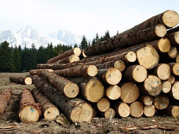 Вырубил деревья на 110млн рублей: красноярского чиновника поймали на «распиле» леса