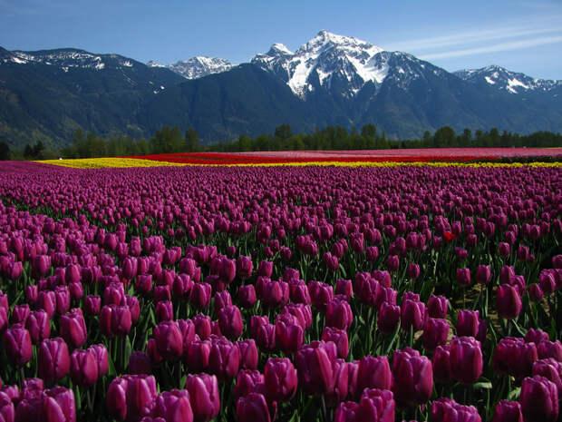 tulips20 Самые яркие тюльпаны со всего света