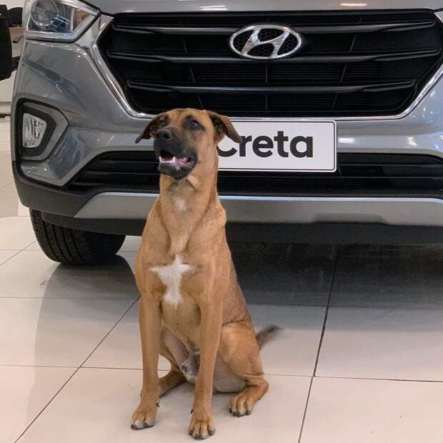 Бездомный пёс из Бразилии часто появлялся у автосалона. Сотрудники решили взять его на работу и не прогадали