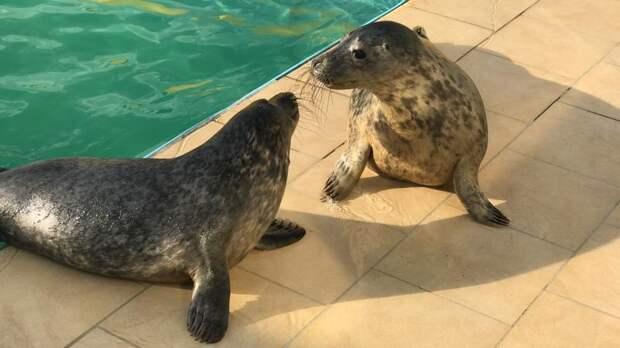 Видео: тюленей Крюкову, Крикушу, Лебяжку, Лахту и Демидова перевели в водоём для упитанных