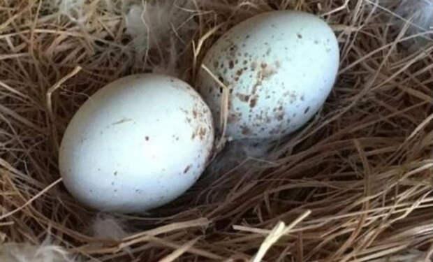 Фермер подложил куриное яйцо в гнездо орла и поставил камеру наблюдения