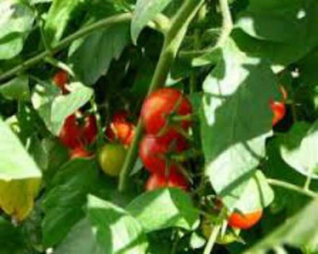 Как ускорить созревание помидор в теплице — надёжные способы, которые приносят результат