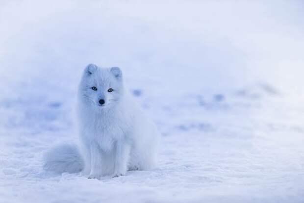 Исландия, Песец, Животных, Живая Природа