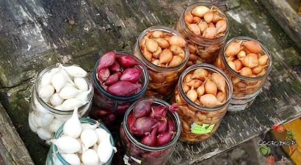 Как правильно подготовить лук-севок к посадке