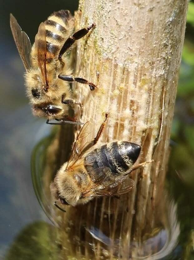 Оказалось, что пчелы умеют плавать, и весьма неплохо
