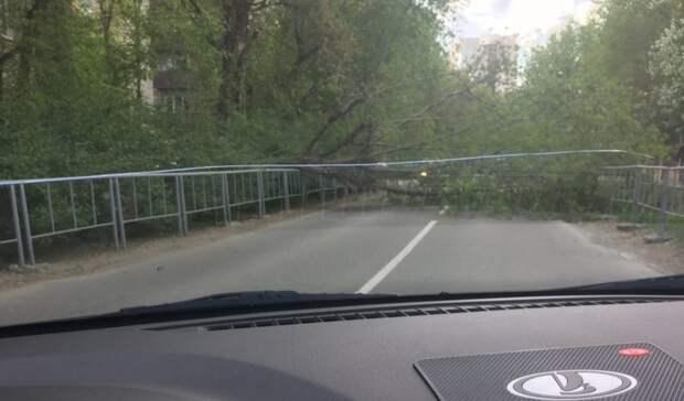 В Тюмени недалеко от Цветного Бульвара на дорогу упало дерево. Движение перекрыто