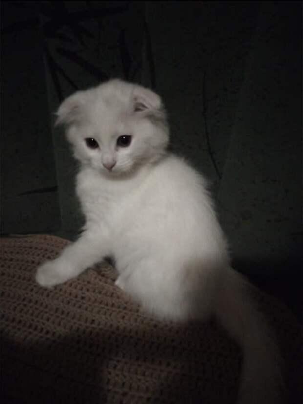 Белый вислоухий котёнок продавался на рынке за 500 рублей, я даже не рассчитывала, что из него вырастет такой красивый кот