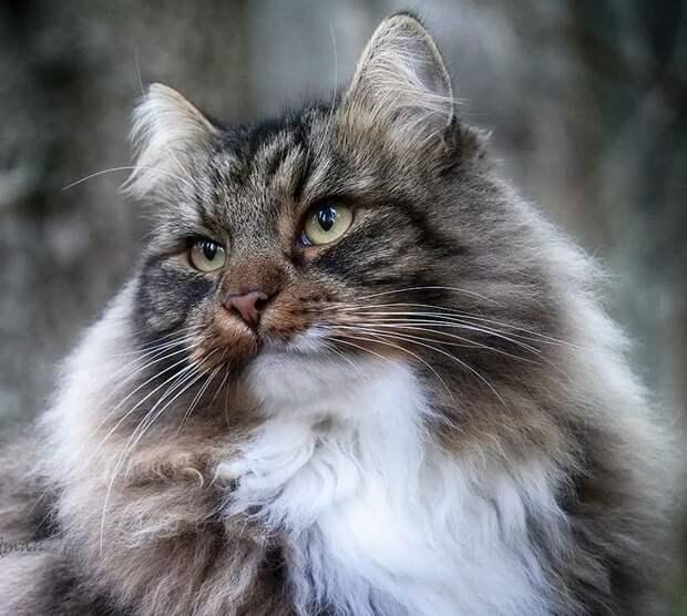 Подборка фотографий сказочно красивых сибирских котиков
