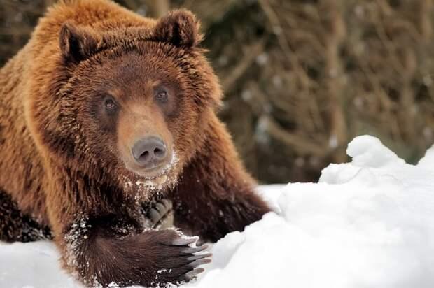 Медведь забрал два ружья у охотника животные, зима, избушка, медведь, оружие, охотник, ружье, тайга