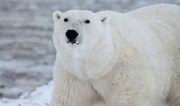Детская игрушка привела ксмерти белого медведя взоопарке Екатеринбурга