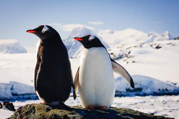 Где жил пингвиний прадедушка? Геномы пингвинов проливают свет на их эволюцию