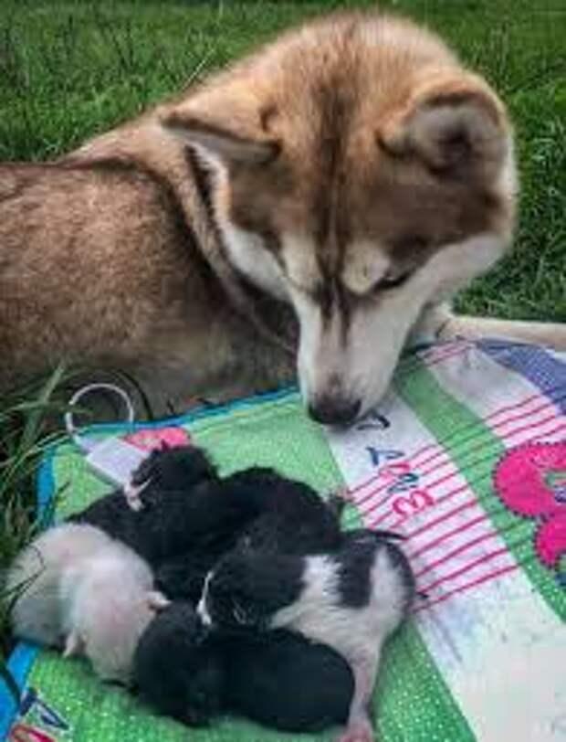 Хаски спасла от гибели семь брошенных котят и стала им мамой