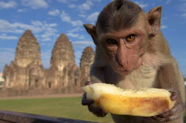 Monkey Buffet Festival: пир для обезьян (22 фото)