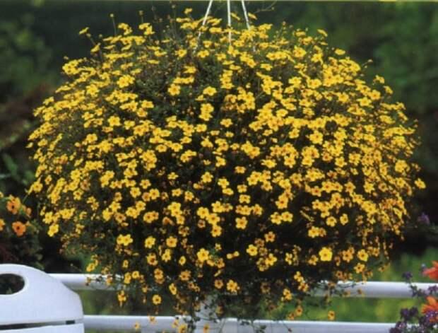 Не только петуния и лобелия: 5 «неизбитых» чарующих цветов для кашпо и балконов