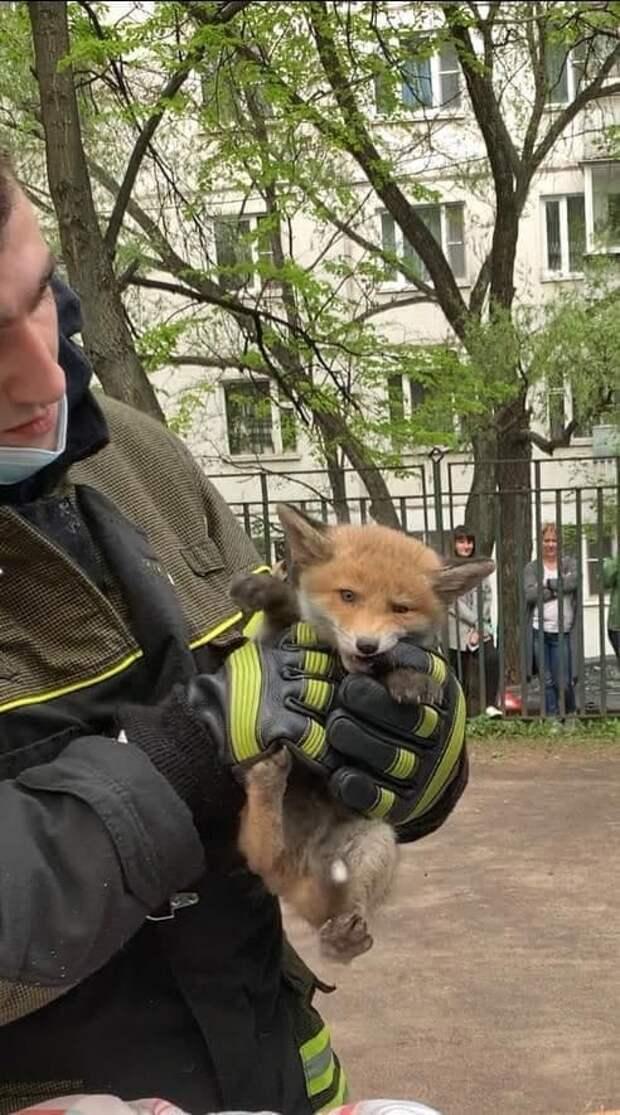 Пятерых лисят спасли в московском детском саду. Мать-лиса всполошила людей, и они вызвали пожарных