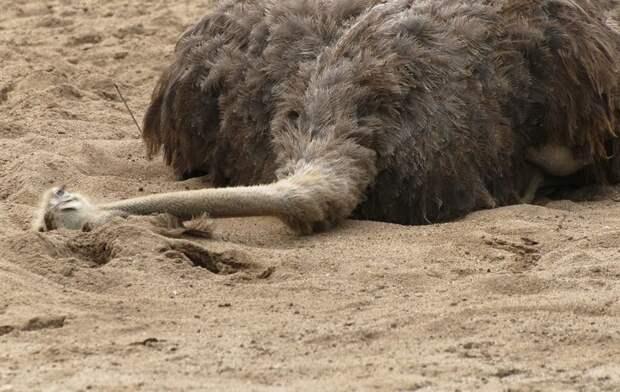 12. Страусы зарывают голову в песок МИФ И ПРАВДА, животные, животный мир, интересные факты, миф, познавательно, факты о животных