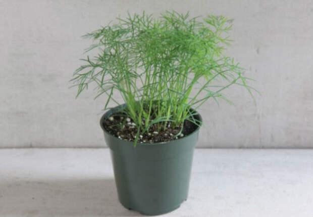 Пышный укроп на зелень: растим на окне