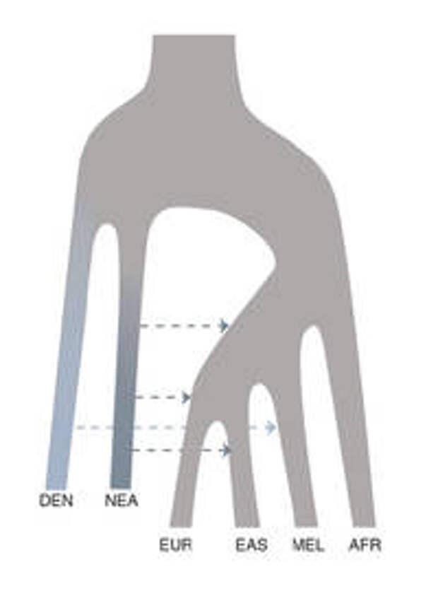История смешения человеческих популяций, согласно данным из статьи. DENN — денисовцы, NEA — неандертальцы, EUR — европейцы, EAS- восточные азиаты, MEL — меланезийцы, AFR — африканцы.