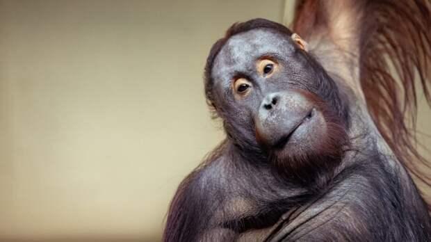 Привидение в клетке: новосибирский зоопарк снял на видео игру орангутана с простыней