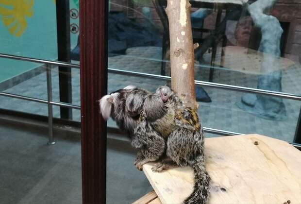В зоопарке Удмуртии родились игрунки