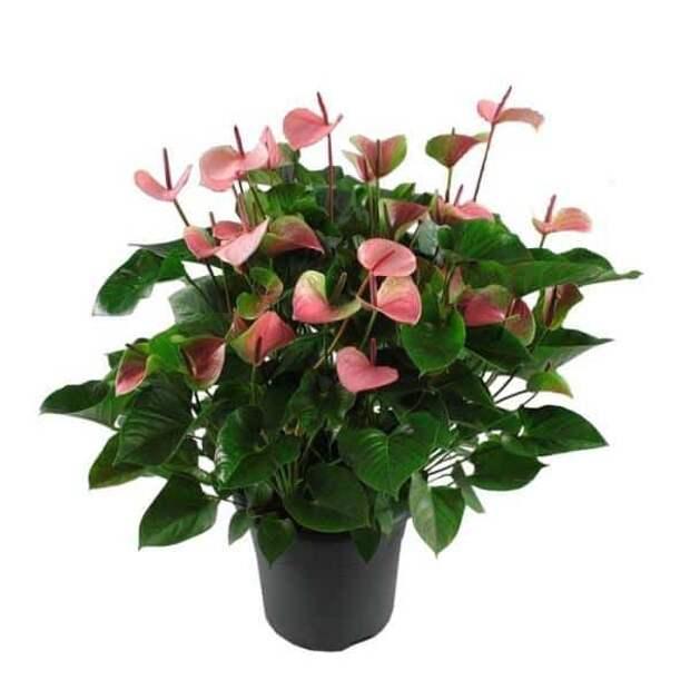 Комнатные цветы для домашнего благополучия: приметы, суеверия, традиции