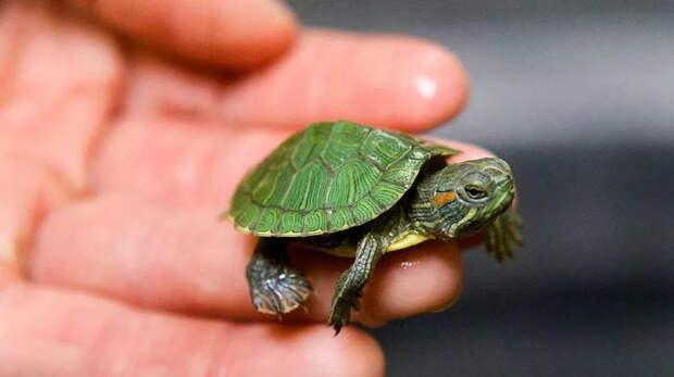 Выпустил черепашку — разрушил экосистему. К чему приводит безответственность хозяев рептилий?