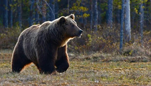 Второй за лето турист погиб от когтей медведя в красноярском парке