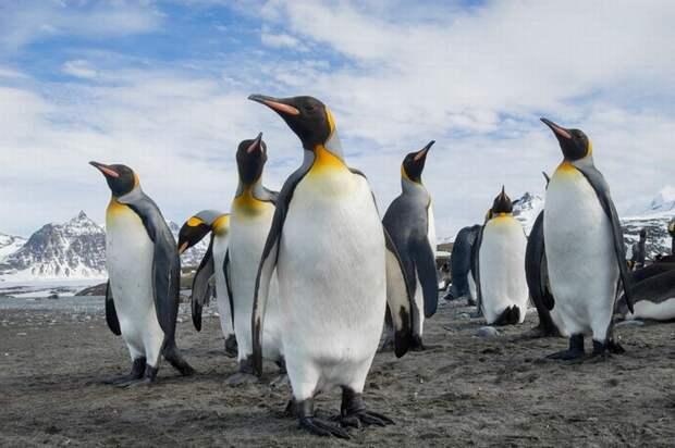 Пингвины – инопланетяне? Ученые обнаружили в помете птиц химическое вещество с Венеры