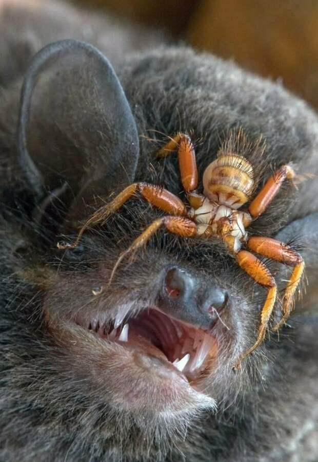Nycteribia biarticulata - паразит, живущий на летучих мышах. Он прикрепляется к своему хозяину и никогда его не покидает бывает же такое, животные, интересное, природа, растения, ужасы