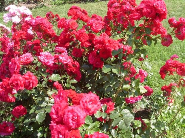 Как создать новый сорт розы: мастер-класс.