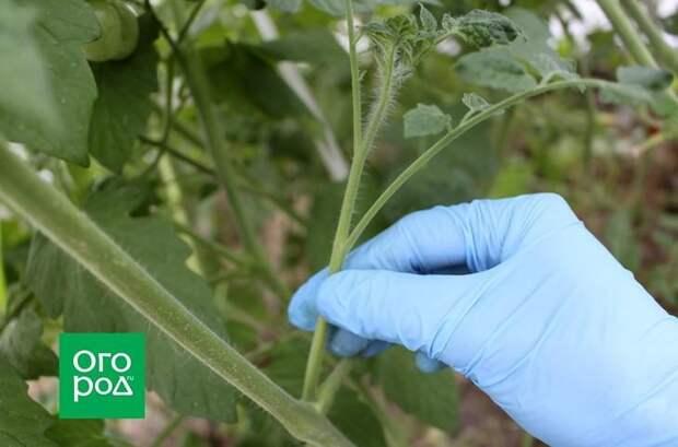 Почему не созревают томаты