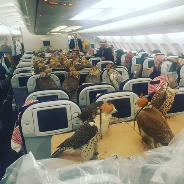 29. Принц Саудовской Аравии выкупил 80 мест в самолете для своих ястребов борт, животные, пассажир, перелет, полет, самолет, фото