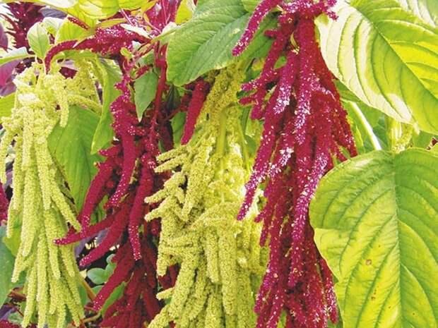 Эти семена оказывают мощное омолаживающее действие на организм