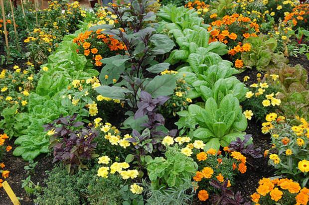 Растения-компаньоны против вредителей