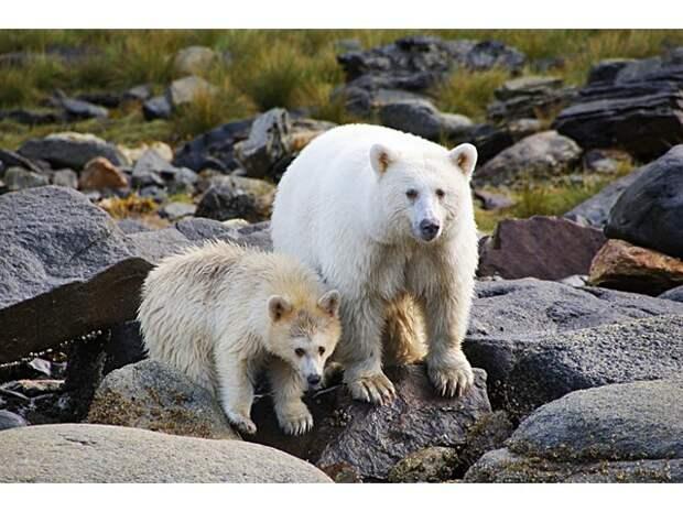 Медведь Кермода: Почему целая популяция чёрных медведей стала белоснежной?
