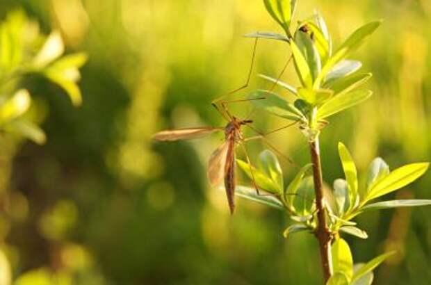 Народные средства от комаров » pwo.su