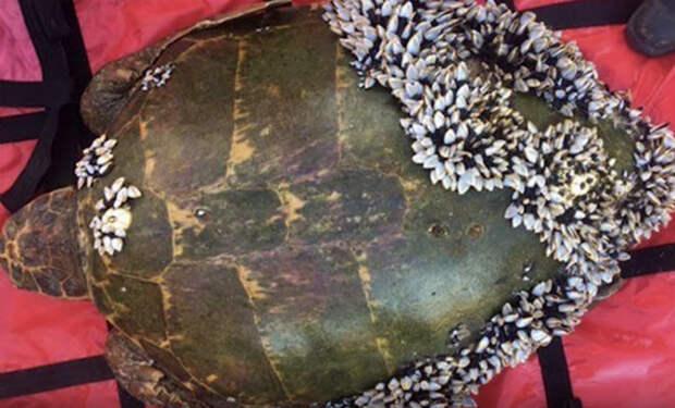 Черепахе оставалось жить считанные дни: она собралась с силами и подплыла к дайверу
