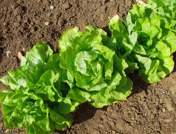 Эксперт рассказала о способности горьких листов салата снимать усталость