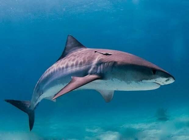 Выживают наиболее приспособленные акулы, факты, хищники
