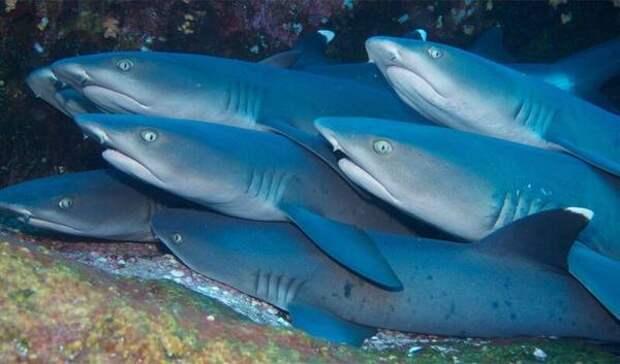 Акулы используют магнитное поле Земли в качестве GPS
