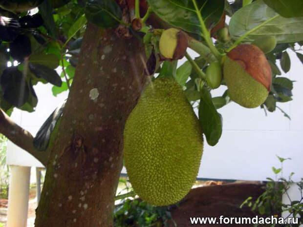 Artocarpus heterophyllus, Kha-nun, Nangka
