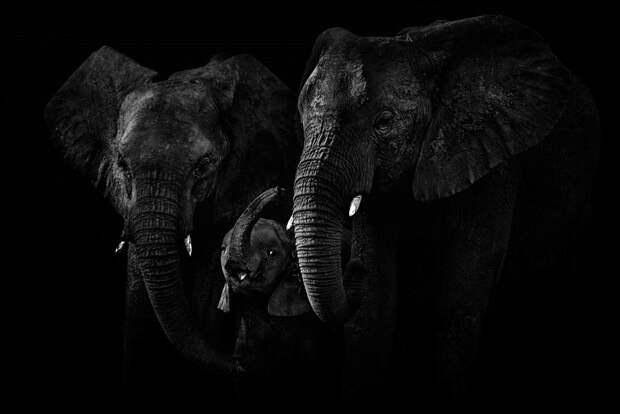 zhivotnye 14 Черно белые портреты диких животных