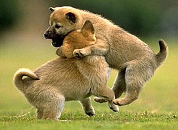 играющие щенки, фото, фотография