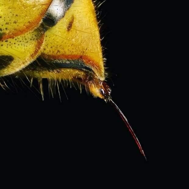 Ну и напоследок то, с чем никто не хочет столкнуться — жало осы в мире, интересно, под микроскопом, познавательно, фото