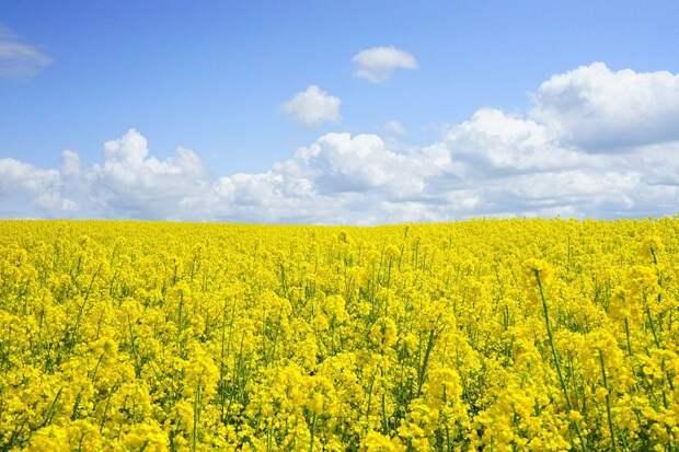 Рекордный урожай рапса соберет Удмуртия в этом году