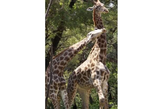 В период ухаживания жирафы проявляют друг к другу особенную нежность. Они ласково трутся друг об друга, выражая симпатию противоположному полу