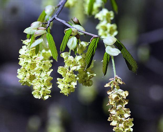Корилопсис малоцветковый (Corylopsis pauciflora)